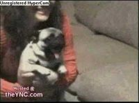 A pug gets very excited about what's on TV.