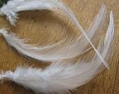 over 50 White Saddle Feathers