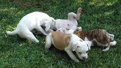 Four Bulldog Puppies Reunite with Family