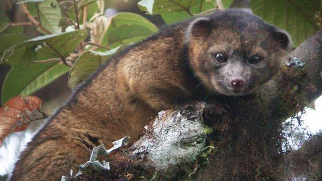 VIDEO: New species discovered in South America is classified in the same family as raccoons.