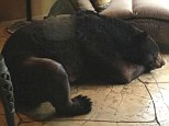 Tired: This eight-foot bear decided that the Florida rain and the heat was too much so decided to take a nap inside the MacDonough family home