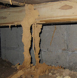 the underground trial of this house is fully  occupied by termites