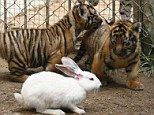 Nervous: These tiger cubs seem not to know what to do when confronted with a rabbit