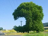 Not the brightest spark: A large hold was cut into this tree to make room for electricity cables