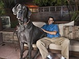 Huge: Standing at nearly 43 inches tall from paw to shoulder and weighing a staggering 245lbs George was the reigning Guinness record holder for tallest dog on Earth