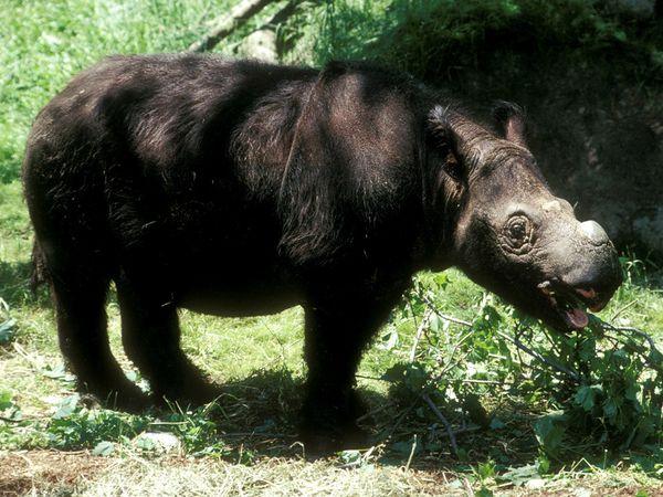 Photo: Sumatran rhinoceros