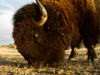 Photo: Close-up of a bison