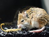 A southern grasshopper mouse approaches and prepares to attack an Arizona bark scorpion.
