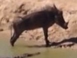 The jackals lick their lips for lunch... the warthog