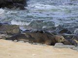hawaiian-monk-critter-cam.jpg