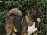 Poor pooch: An Akita similar to this one was drugged and raped multiple times, for hours at a time