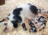 Daisy the hardy sow is taking a well earned rest after giving birth to an incredible 27 piglets the space of nine months