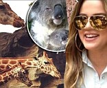 Cute faces: Khloe Kardashian shared photos of herself hanging out koalas on Thursday with her followers on Twitter