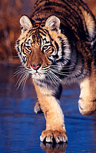 Amur or Siberian tiger (Panthera tigris altaica) on iced lake. / ©: Klein & Hubert / WWF