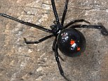 Deadly: Black widow spiders have enough venom to kill children and the elderly if bitten