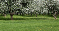 panoramic view to beautiful blooming apple forest in springtime