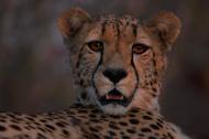 cheetah (Acinonyx jubatus)  south Africa