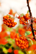 Close up bright rowan berries on a tree