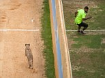 Wild race: Chicago Bears Devin Hester races a cheetah during a scientific matchup between nature's fastest land mammal and the super-agile wide receiver and kick returner in the Big Cat Week special Man Vs. Cheetah