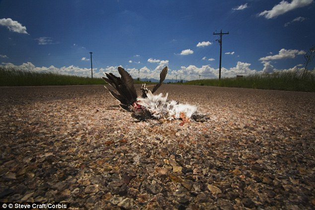 No turkey: Some kinds of roadkill are still illegal to eat including predators, birds of prey and sheep