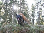 Bonding: Sniffer and Tinni's are closer than most dogs and fox's would ever usually be - helped by the remoteness of the forest they live in and their acceptance of one another