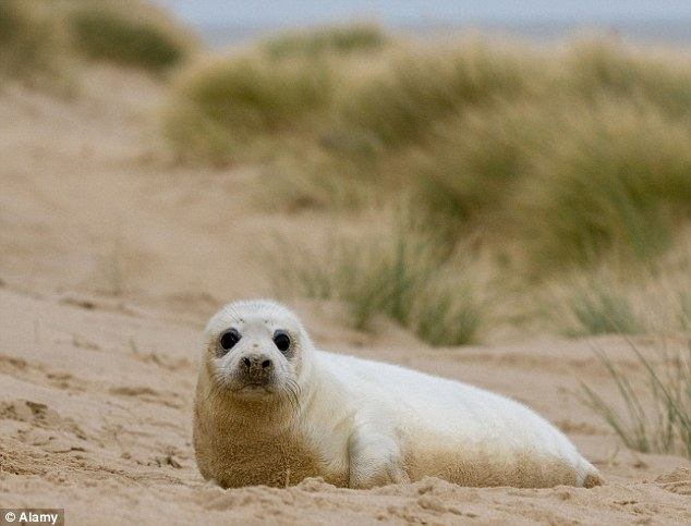 Survivor: One of the lucky survivors pictured on a beach in Norfolk after the strong tides