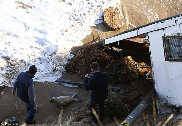 Men take pictures of a seal pup as they try to move it away away from a house which fell into the sea during a storm in Hemsby, eastern England