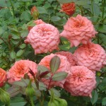Beautiful roses - mini-roses