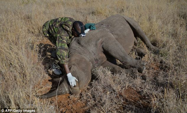 A Kenya Wildlife Services vet approaches a wild male black rhino named Sambu after it was tranquilized in Lewa conservancy in August