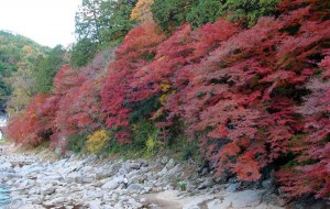 Tomoe river1 300x190 Should a Japanese maple be grown in shade?