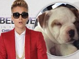 There's a new addition to the entourage! 'I got a new pup,' announced Justin Bieber after buying a cute American Bulldog puppy