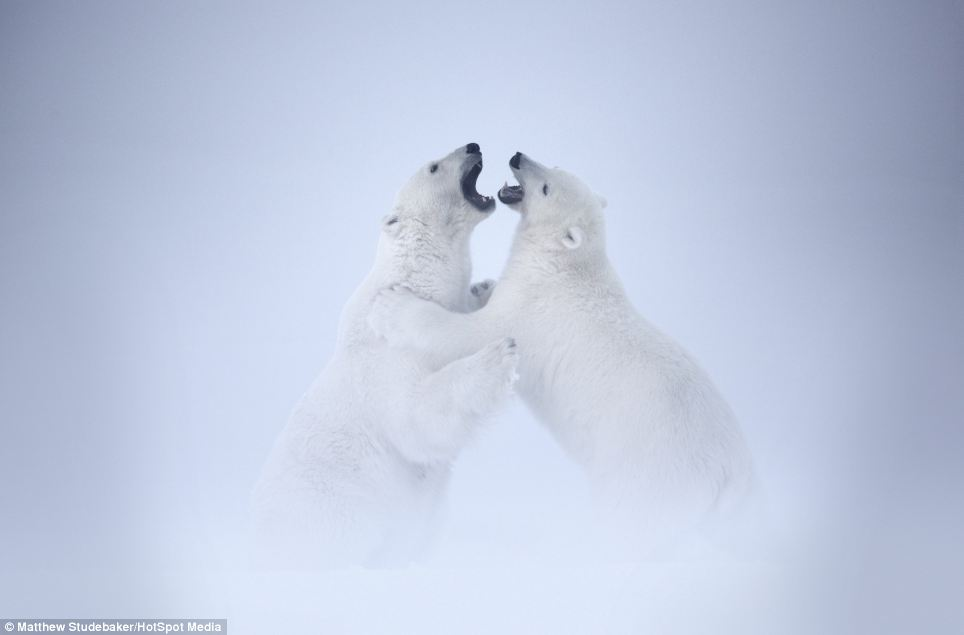 Rivalry: Surrounded by a snowstorm, these young polar bears battle the elements - as well as each other. American photographer and tour guide, Matthew Studebaker, 30, managed to capture these extraordinary shots in 25 miles per hour wind on Barrier Islands, Alaska in the Arctic National Wildlife Refuge