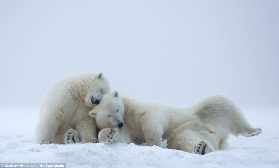 Caught on camera: American photographer and tour guide, Matthew Studebaker, 30, managed to capture these extraordinary shots in 25 miles per hour wind on Barrier Islands, Alaska in the Arctic National Wildlife Refuge