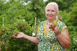 The gray-haired pensioner harvests raspberries in her garden
