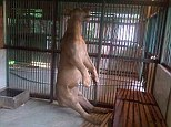 Michael the lion is found hanging in his cage at Surabaya Zoo in Indonesia which has been dubbed the zoo of death