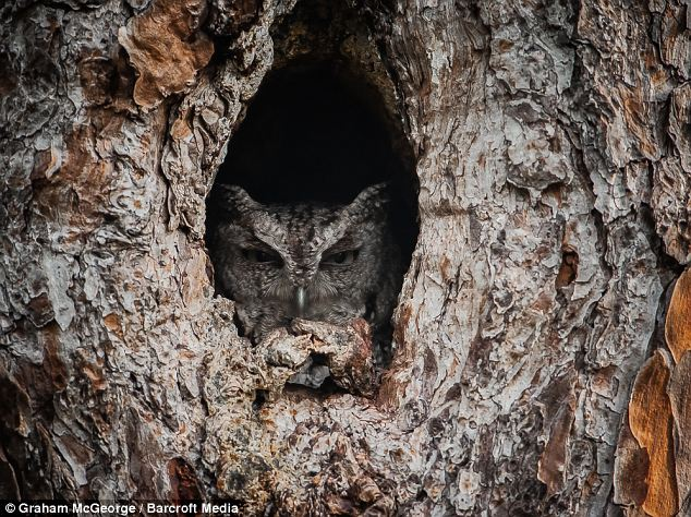Hiding place: Usually solitary, screech owls nest in a tree cavity, either natural or dug out by a woodpecker
