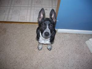 Picture of Lucy, a female Border Collie/Breed Unknown