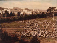 Photo of sheep on a hillside right next to Parliament House
