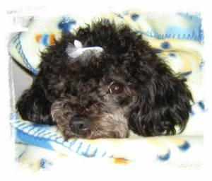 Picture of Cindy Lou Who, a female Miniature Poodle/Bichon Frise