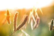 Silhouette of ribwort plantain in meadow during sunrise or sunse