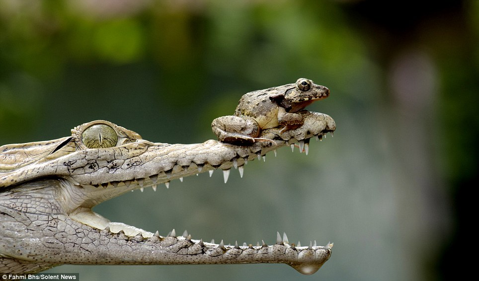 Jaws of death: The reptile's beady eye is fixed greedily on its visitor with jaws gaping wide in anticipation, but somehow can't or doesn't want to gobble him up