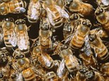 Bees on a honeycomb --- Image by © Gary Bell/Corbis