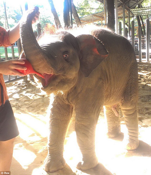 Bottle fed: A baby elephant at the Thai hospital is fed milk after its mother tried to kill him - Miranda's donation will go towards the milk fund
