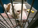 This March 11, 2014 photo shows Mickey, a pit bull, at West Valley Animal Care Center in Phoenix