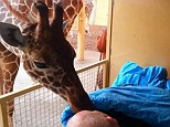 Special bond: The giraffe approached the man's hospital bed, and appeared to give the 54-year-old a kiss goodbye