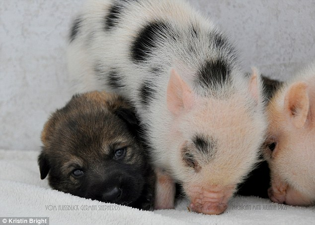Snuggle party: Exhausted from playng, this piglet slumps over its puppy friend