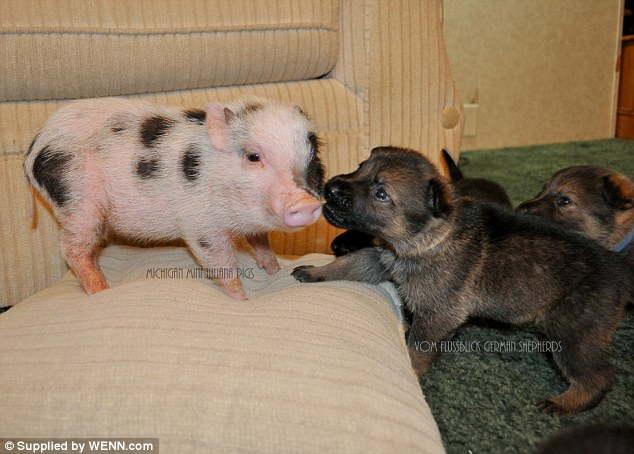 King of the castle: This piglet fends off a pack of puppies as it guards its pillow