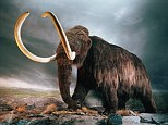The Earth was once populated with beasts such as the woolly mammoth, illustration pictured. Over the last two million years many of these giant beasts, known as megafauna, have been wiped out completely. The debate on exactly what caused this mass extinction ranges from changes to hunting by humans