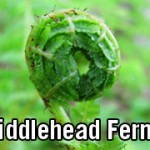 Fiddlehead Ferns, How to Make Them Food