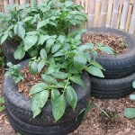 How To Successfully Grow Potatoes In Tires
